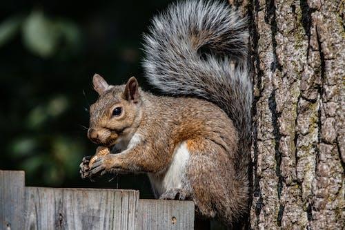 Ingyenes stockfotó állat, mókus témában