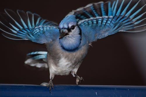 蓝松鸦 的 免费素材照片