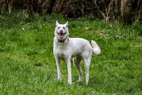 White Short Coated Dog on Green Grass Field