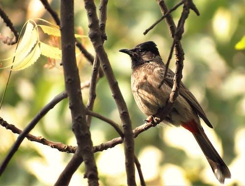 Fotos de stock gratuitas de bulbul, bulbul de ventilación roja, pájaro