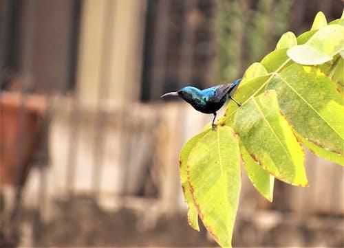 Fotos de stock gratuitas de pájaro, púrpura sunbird, sunbird
