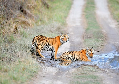 Tiger Lying On Puddle Of Water