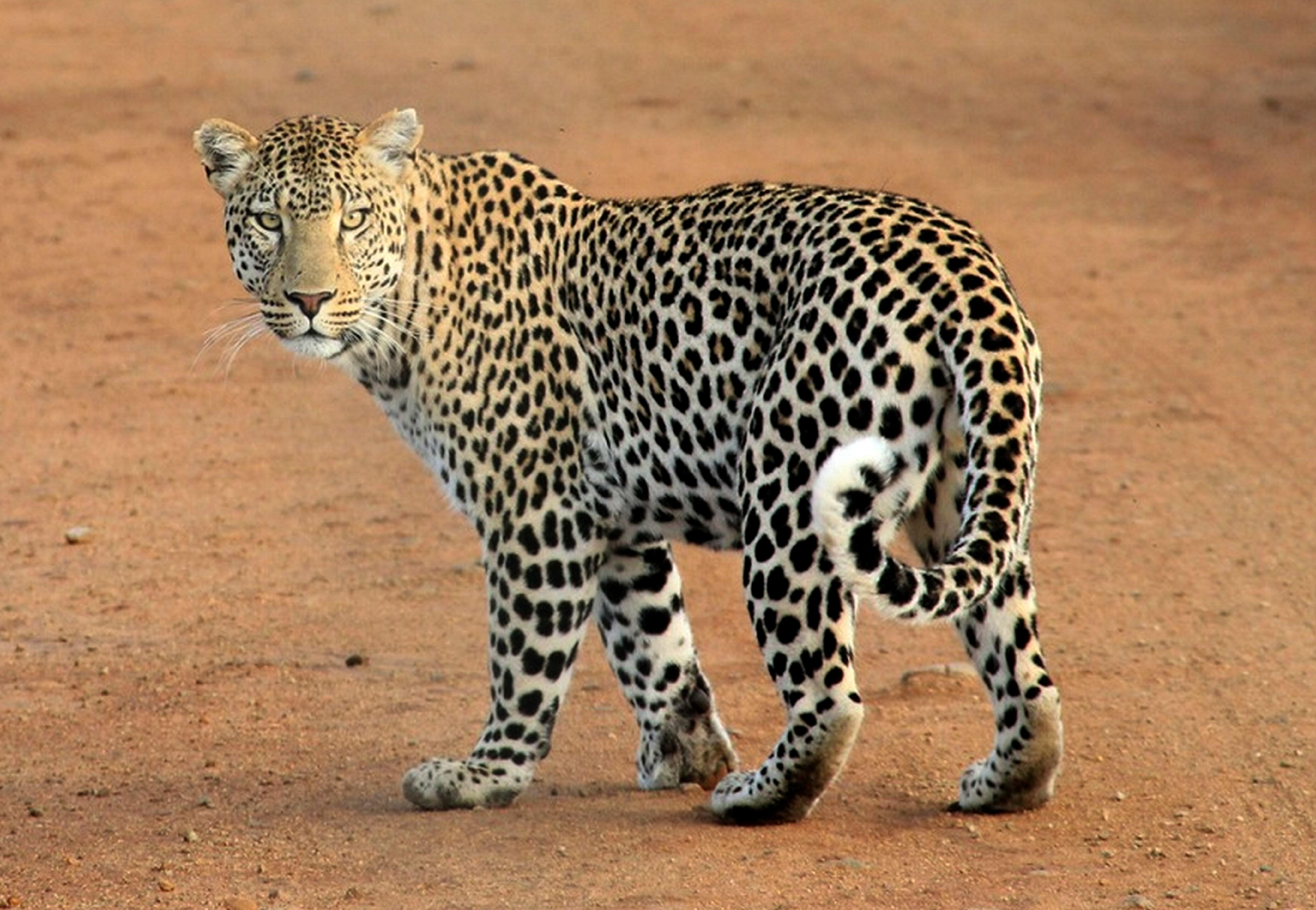 Image of: Indian Tiger Animal Pexels 1000 Great Wild Animals Photos Pexels Free Stock Photos