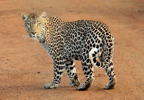 サファリ, ヒョウ, レオパード, 動物の無料の写真素材