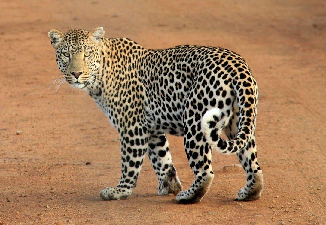eläin, leopardi, saalistaja