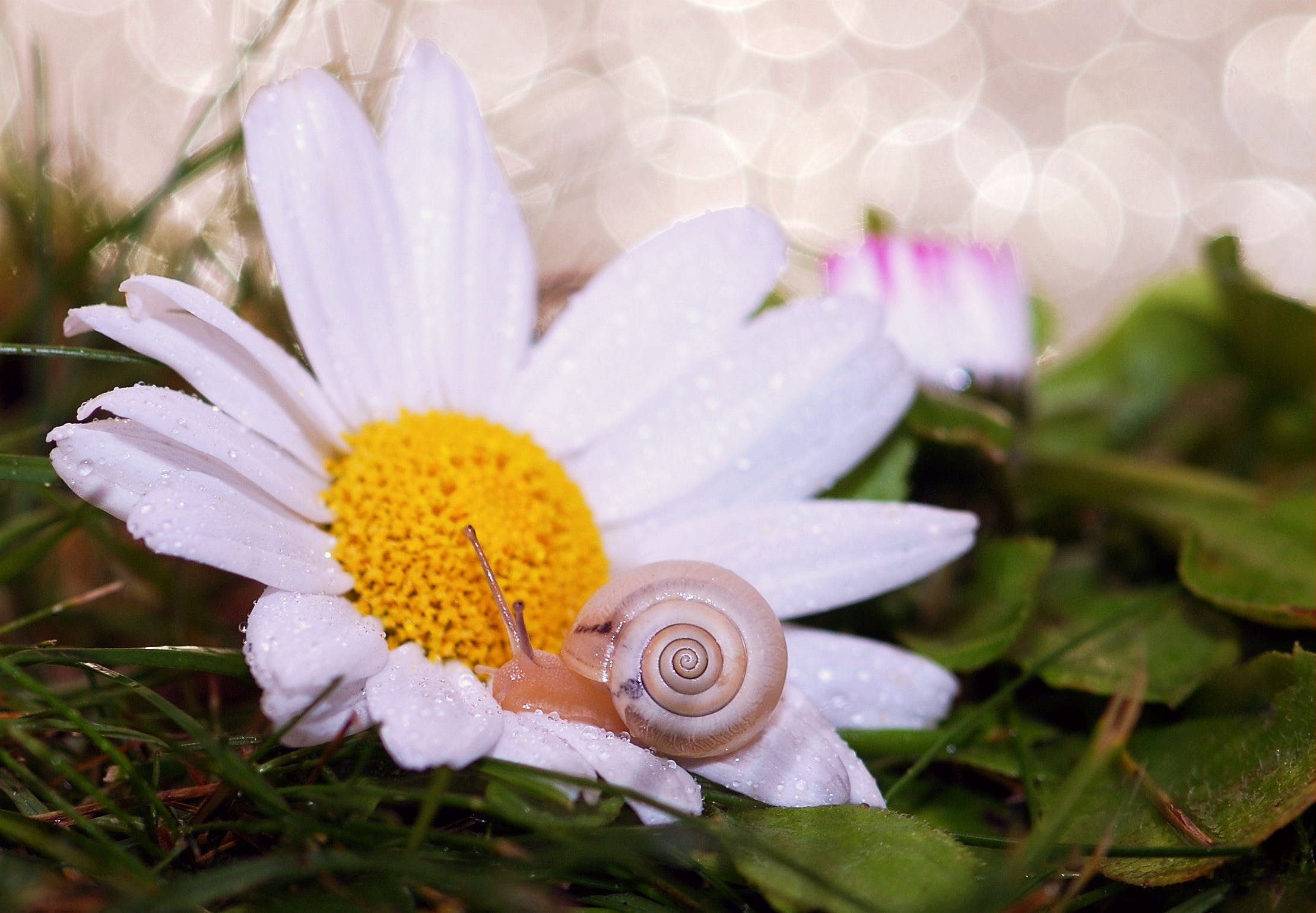 Gray Snail on White and Yellow Daisy Flower Close-up Photography