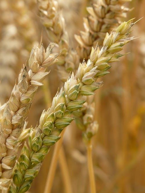 Fotobanka sbezplatnými fotkami na tému detailný záber, jačmeň, poľnohospodárstvo, pšenica
