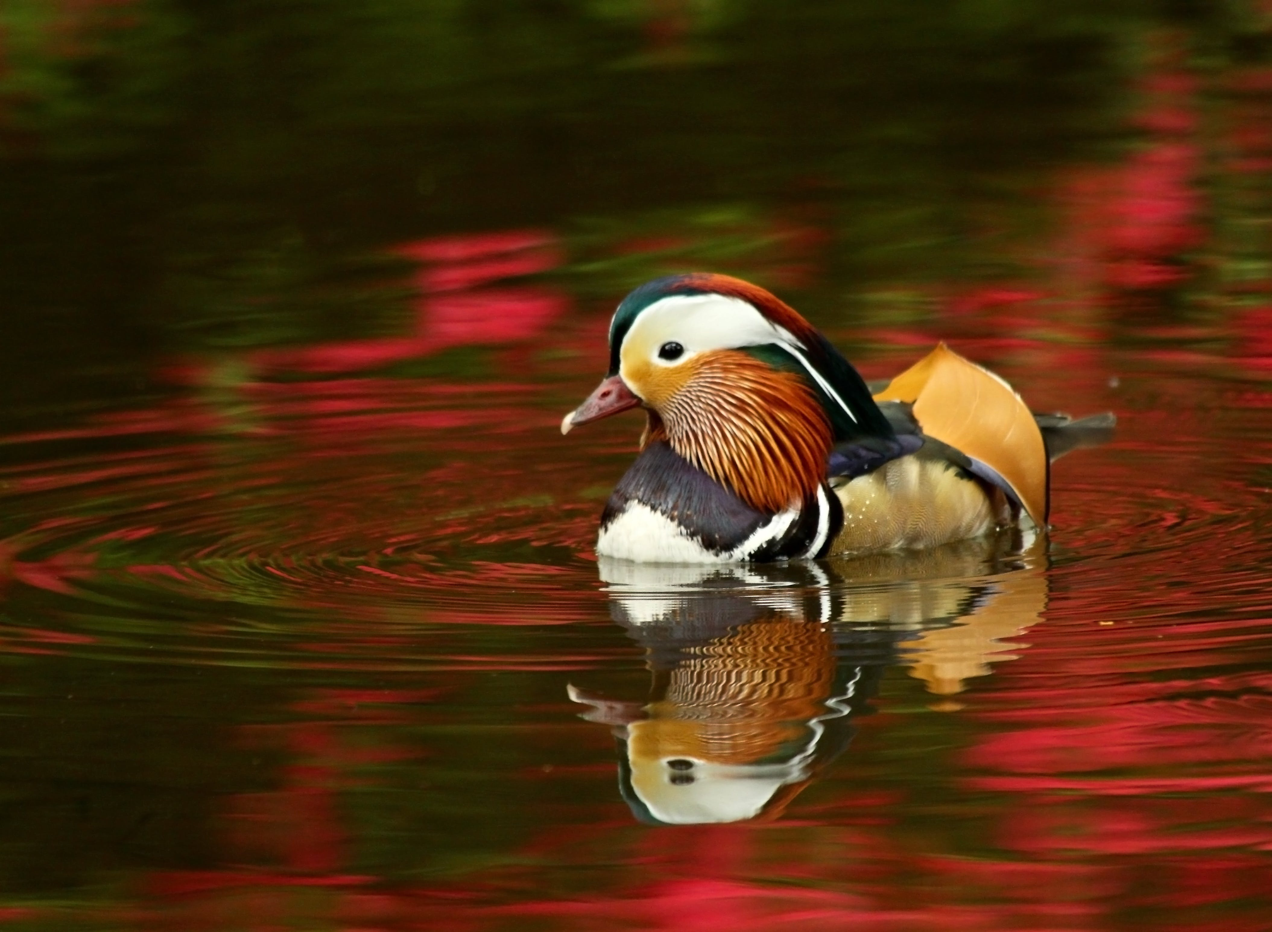 Beige Black Mandarin Duck on Red Waters during Daytime