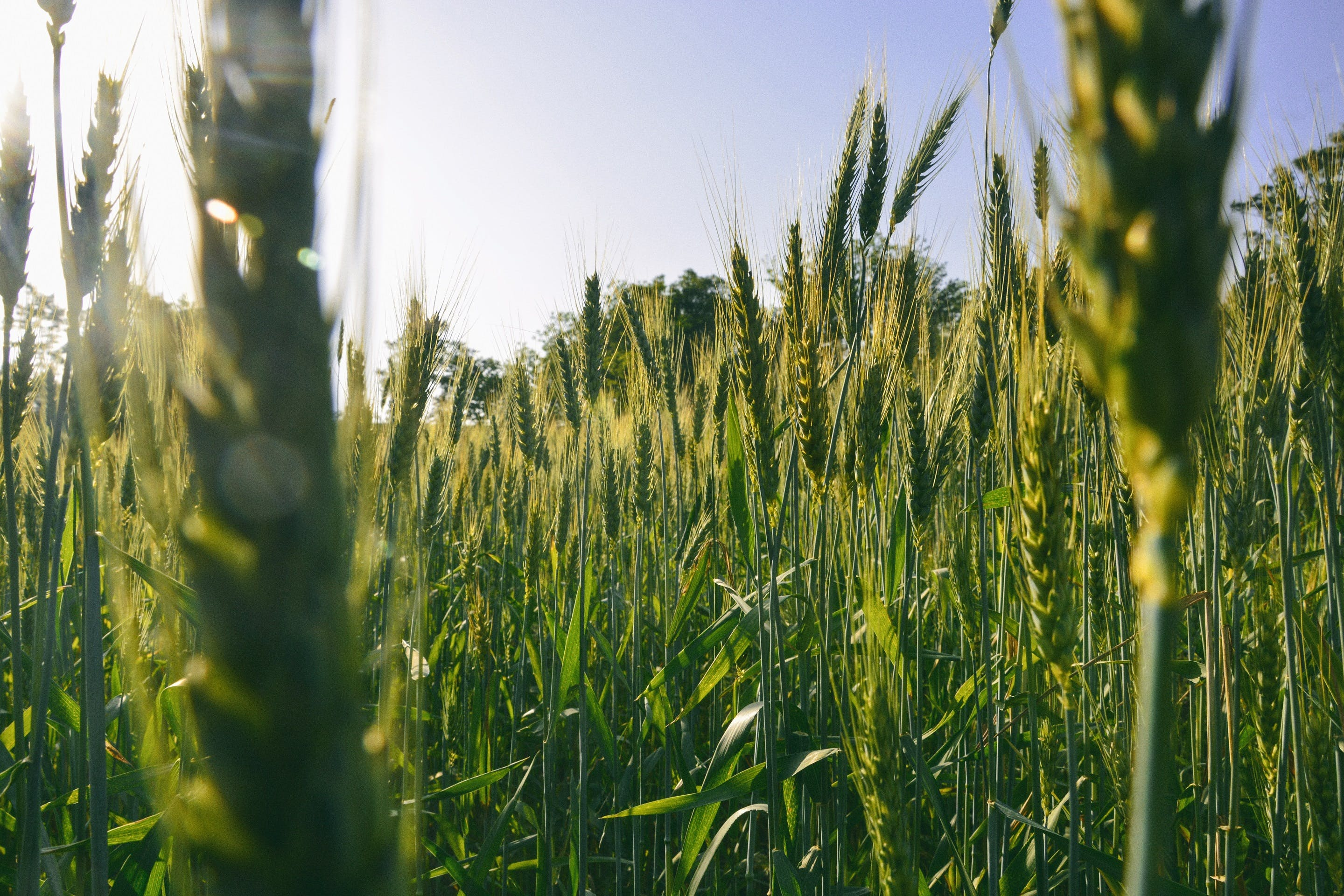 Free stock photo of crops, cultivation, growrh, hope