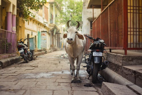 White Cow on Gray Concrete Road