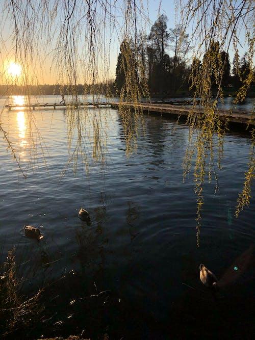 Free stock photo of ducks, green lake, lake