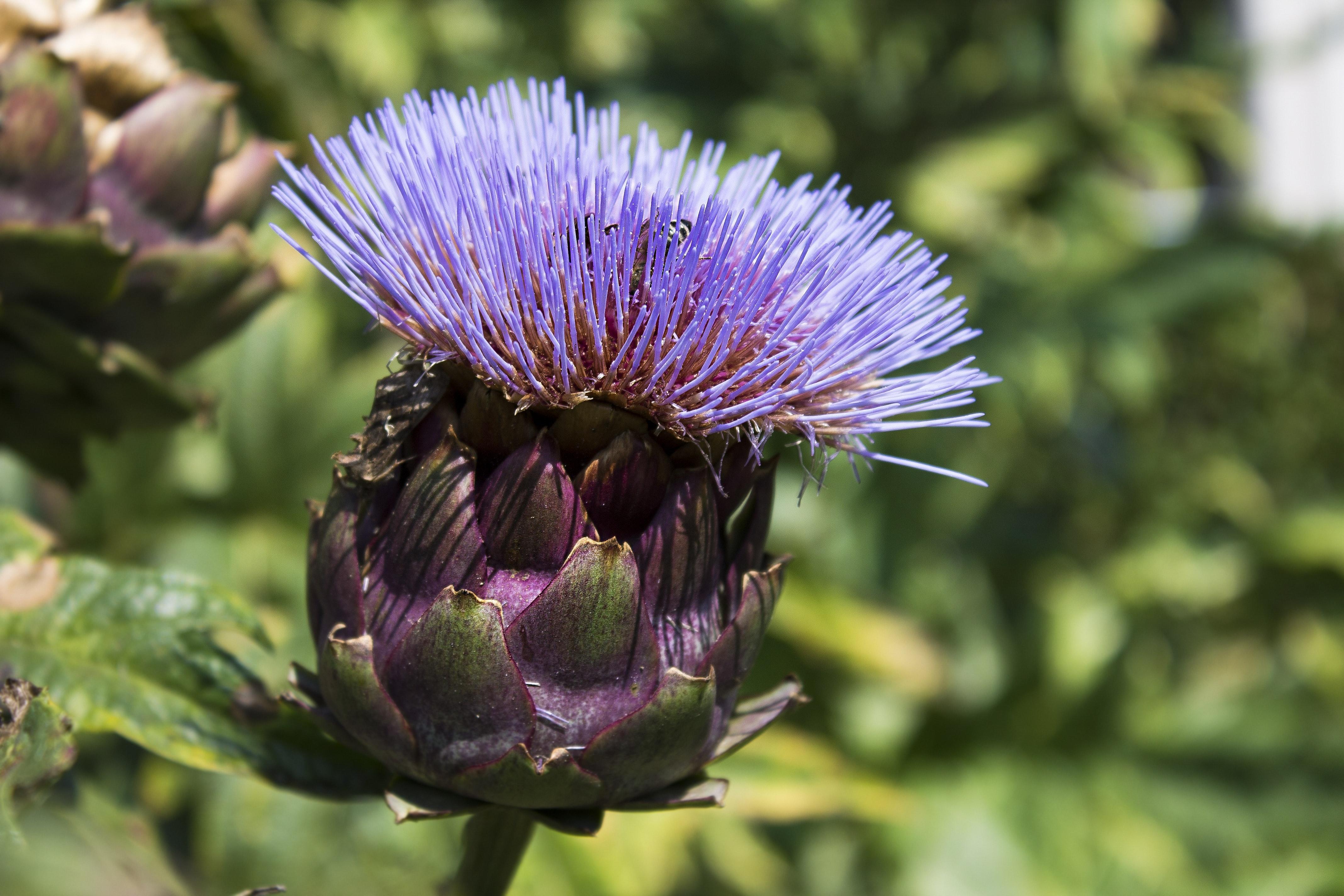 Artischocke Blume