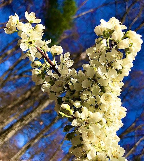 Free stock photo of beautiful flowers, spring, spring flowers