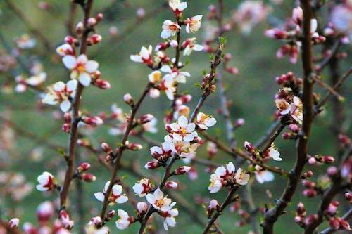 Gratis lagerfoto af agac, badem, bahar, bahar çiçekleri