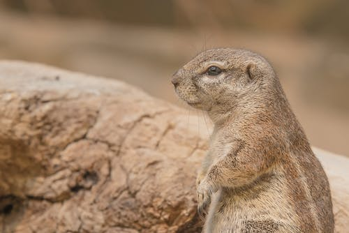คลังภาพถ่ายฟรี ของ กระรอกหมา, การถ่ายภาพสัตว์, ธรรมชาติ, น่ารัก