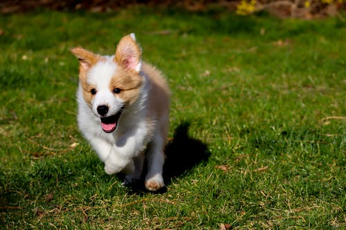 White and Brown Puppy on Green Grass
