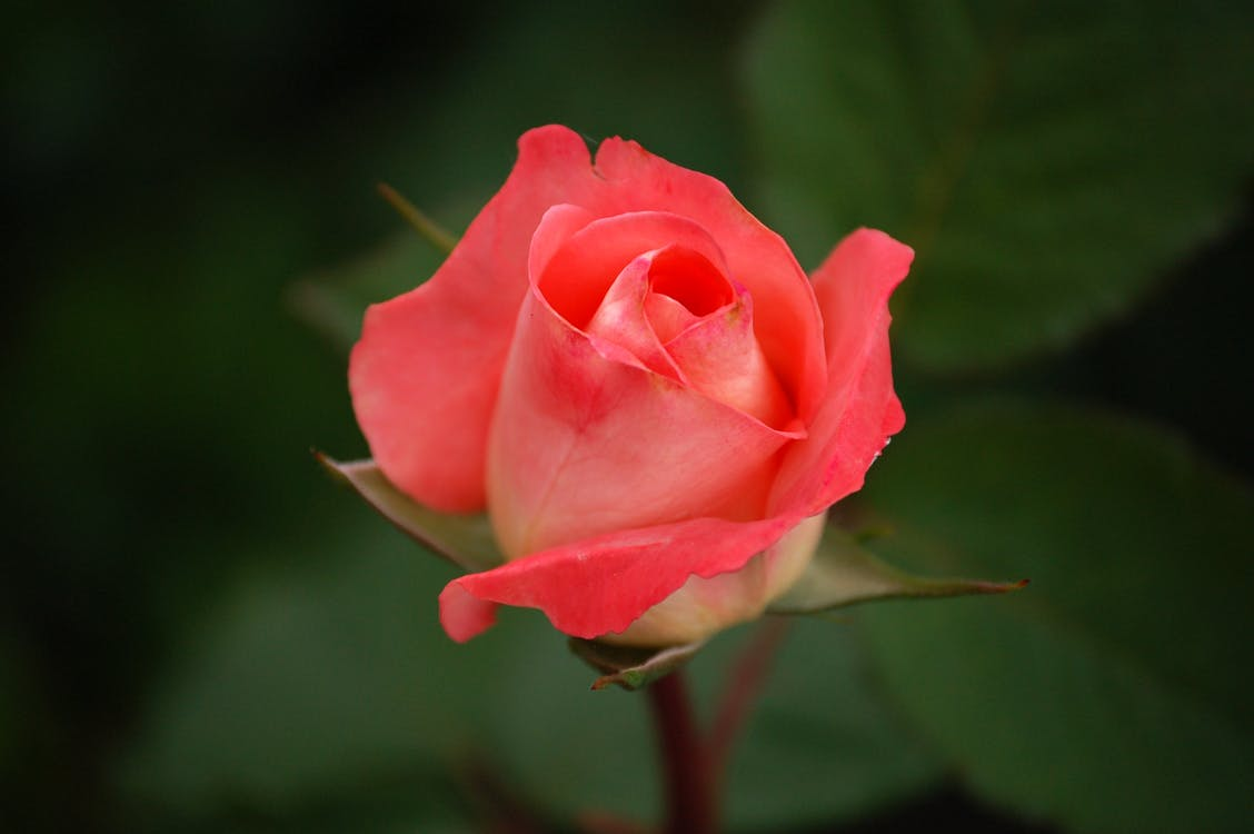 detailný záber, HD tapeta, kvet