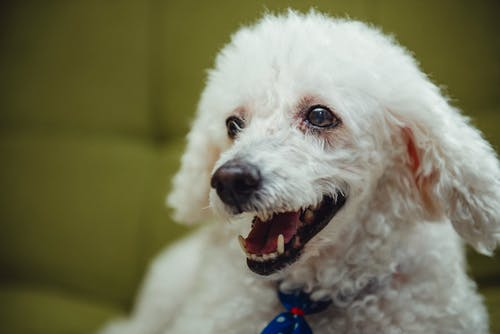 White Poodle Puppy With Blue Collar