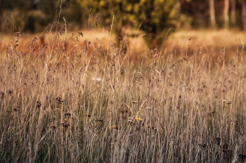 Free stock photo of beauty of nature, brown grass, field of grass, nature
