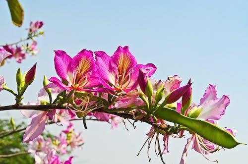 Photos gratuites de bauhinia, brillant, couleur