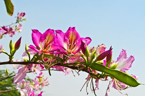 Pink Bauhinia Flowers
