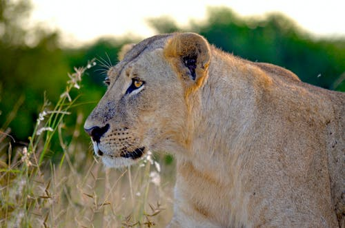 Brown Lioness on Grass