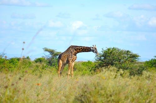 Gratis stockfoto met afrika, afrika wild, afrikaanse dieren in het wild