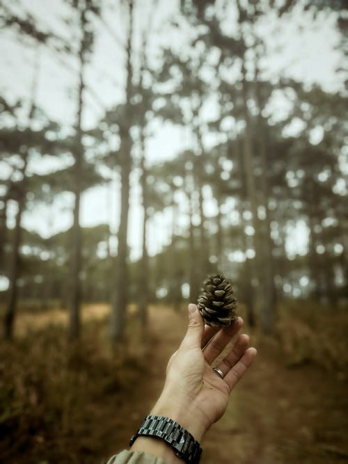 Person Holding Pine Cone in Forest