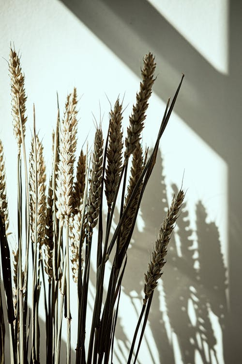 Green Wheat Plant in Close Up Photography