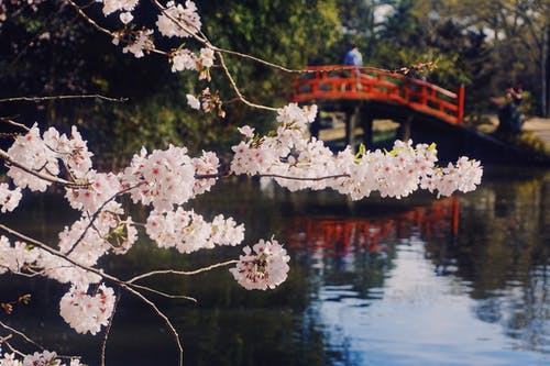 Free stock photo of bloom, bridge, cherry blossom