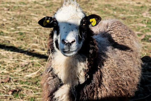 Free stock photo of farm animal, sheep, sunshine