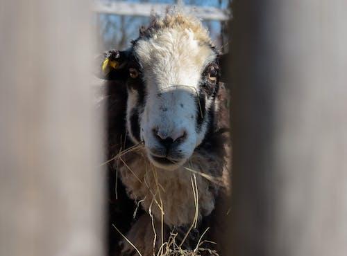 Free stock photo of eating, farm animal, sheep, smile