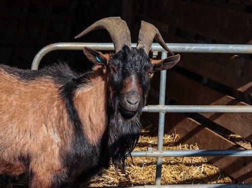 Free stock photo of farm animals, goat, horn, smile