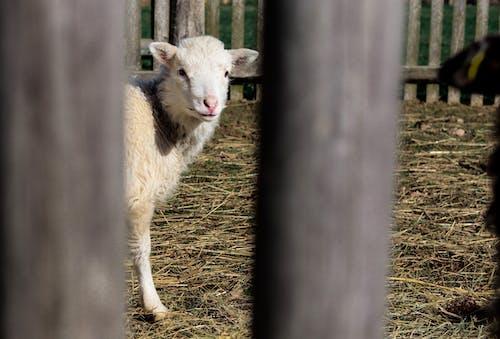 Free stock photo of baby sheep, farm animals
