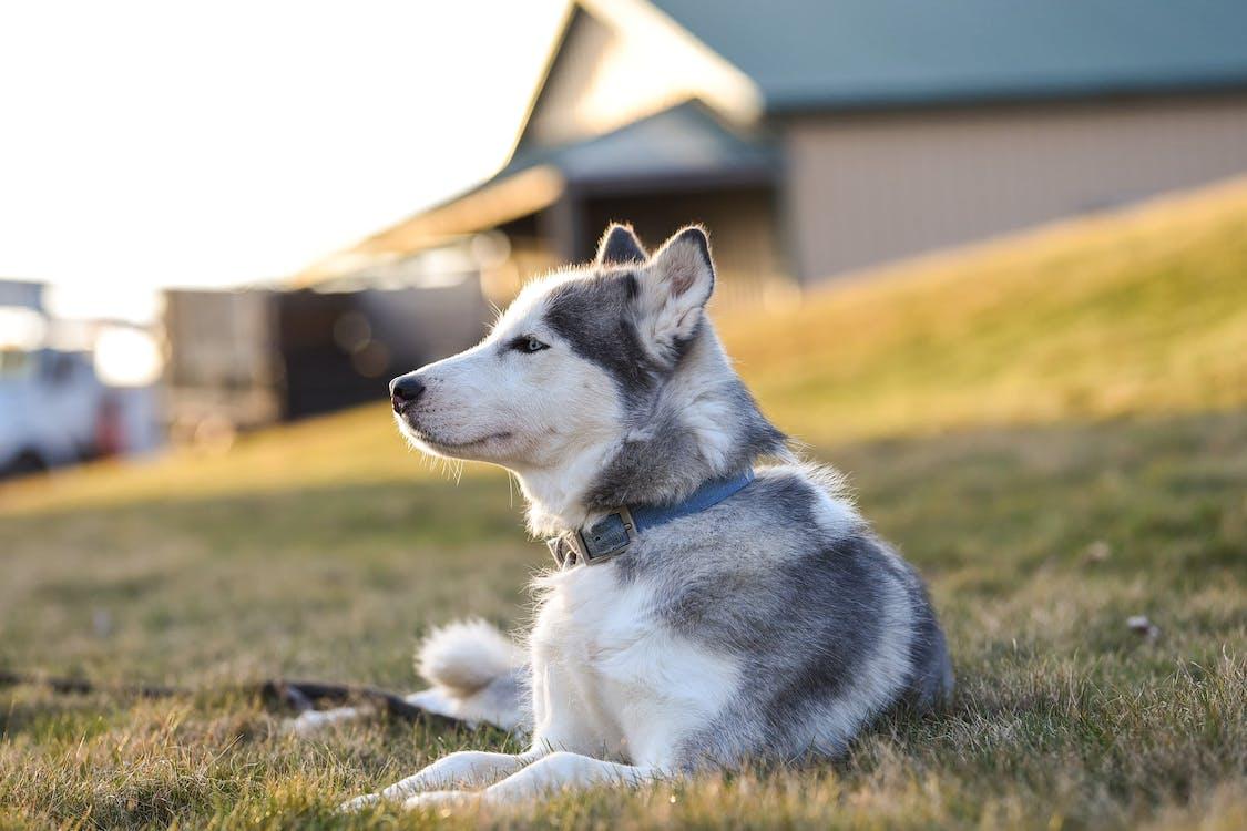 Siberian Husky On Green Grass