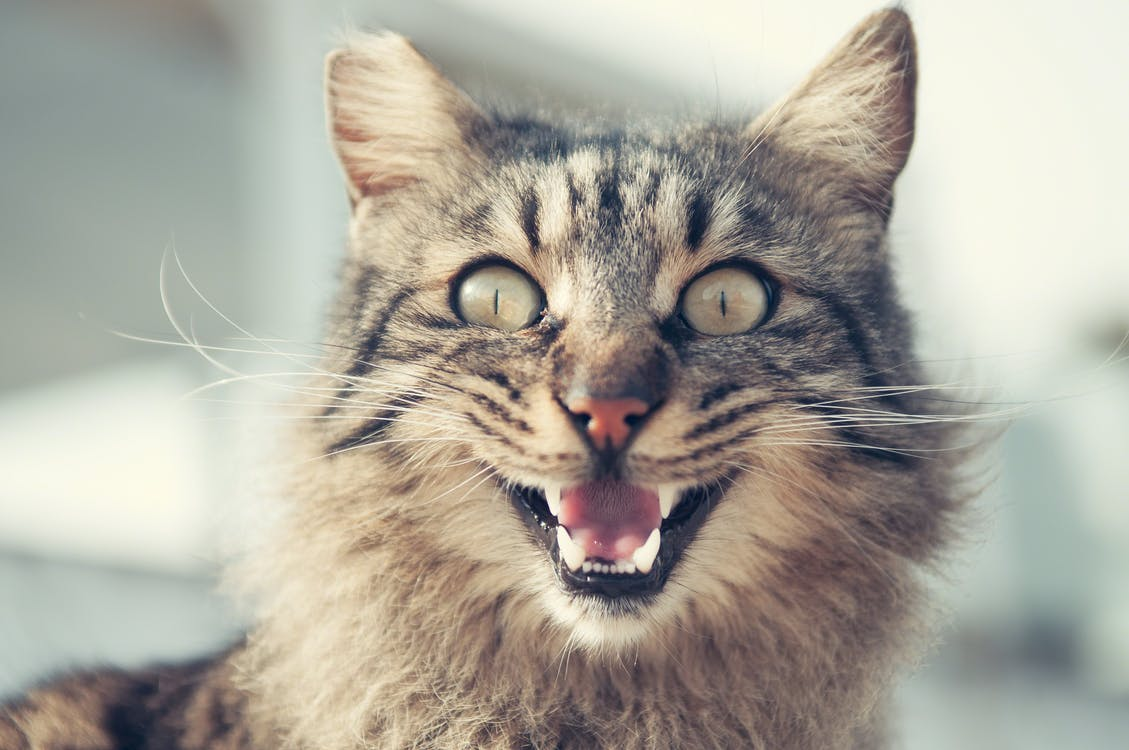 Selective Focus Photography of Brown Tabby Cat Opening Mouth