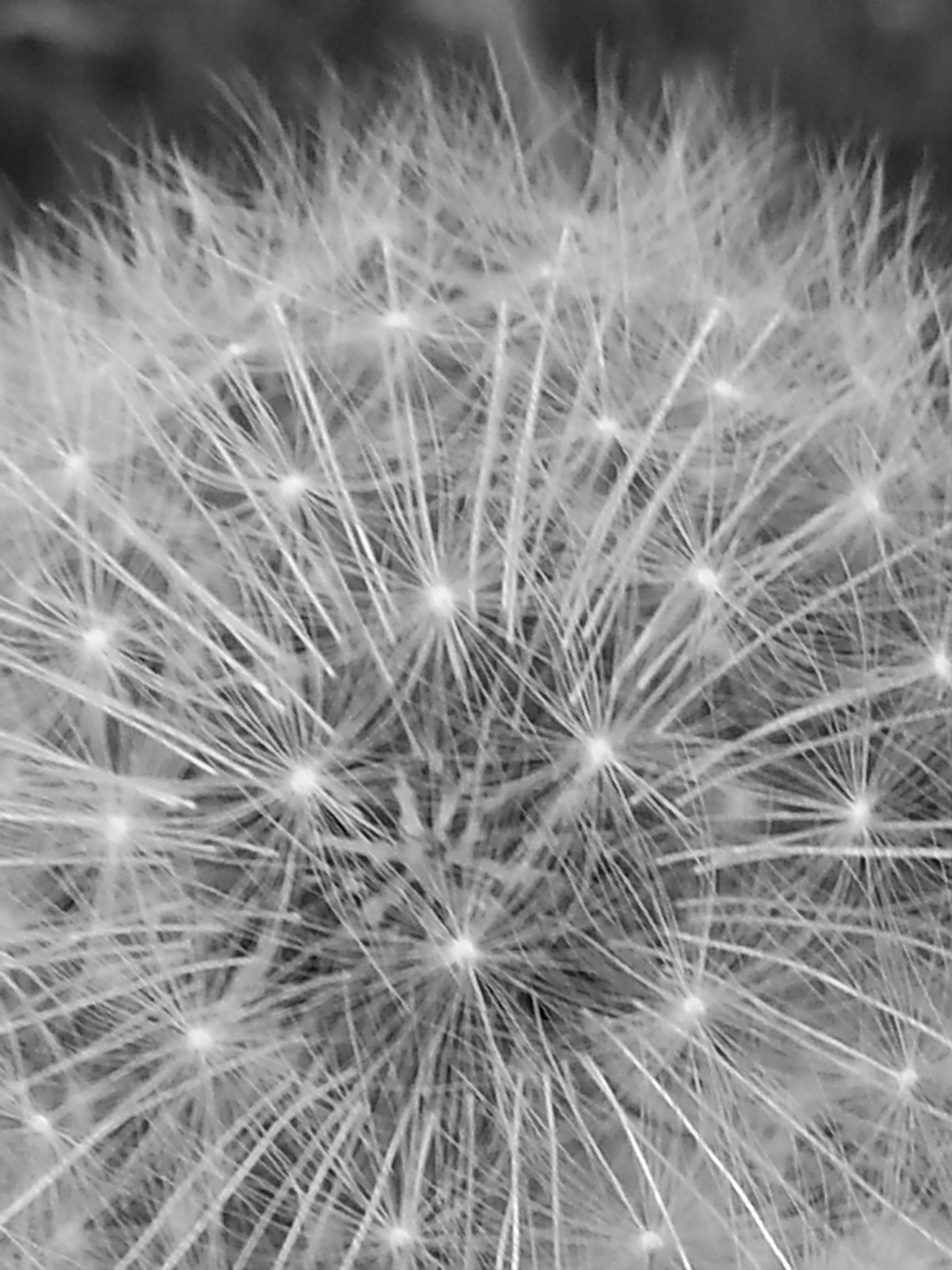 Free stock photo of black-and-white, dandelion, nature