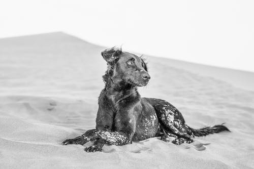 Black And White Photo Of A Dog Lying On Sand