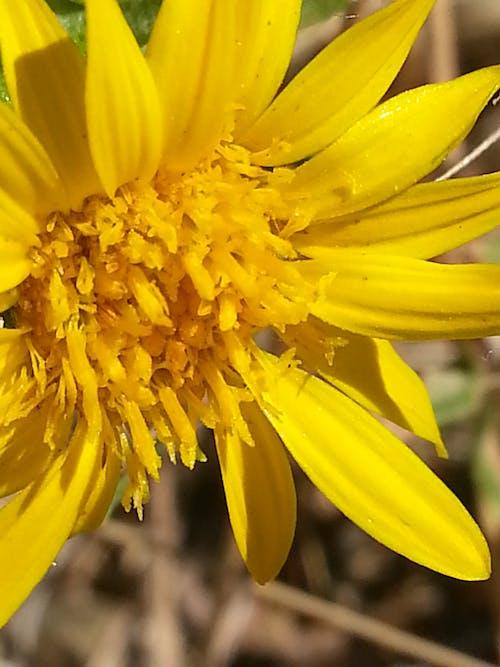 Gratis lagerfoto af gul, natur, vildblomst