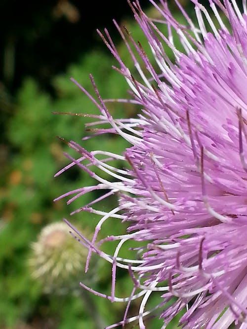 Gratis lagerfoto af lilla, natur, vildblomst