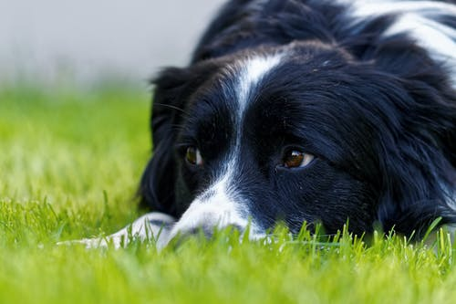 Black And White Border Collie Lying On Green Grass Field