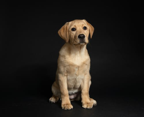 Yellow Labrador Retriever Puppy Sitting On Black Floor