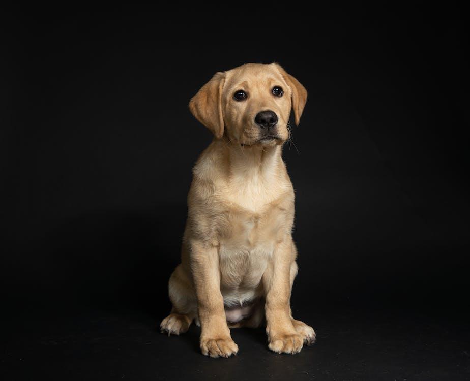 Yellow Labrador Retriever Puppy Sitting On Black Floor