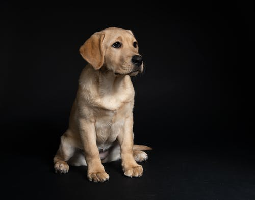 Yellow Labrador Retriever Puppy On Black Floor
