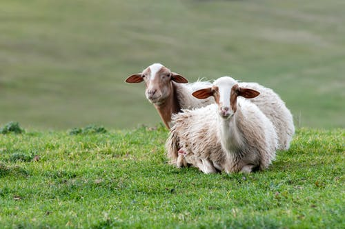 Sheep On Green Grass Field
