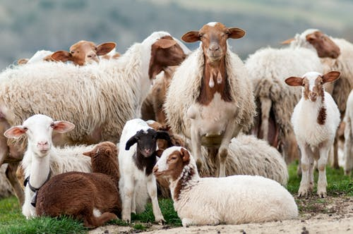 White And Brown Sheep