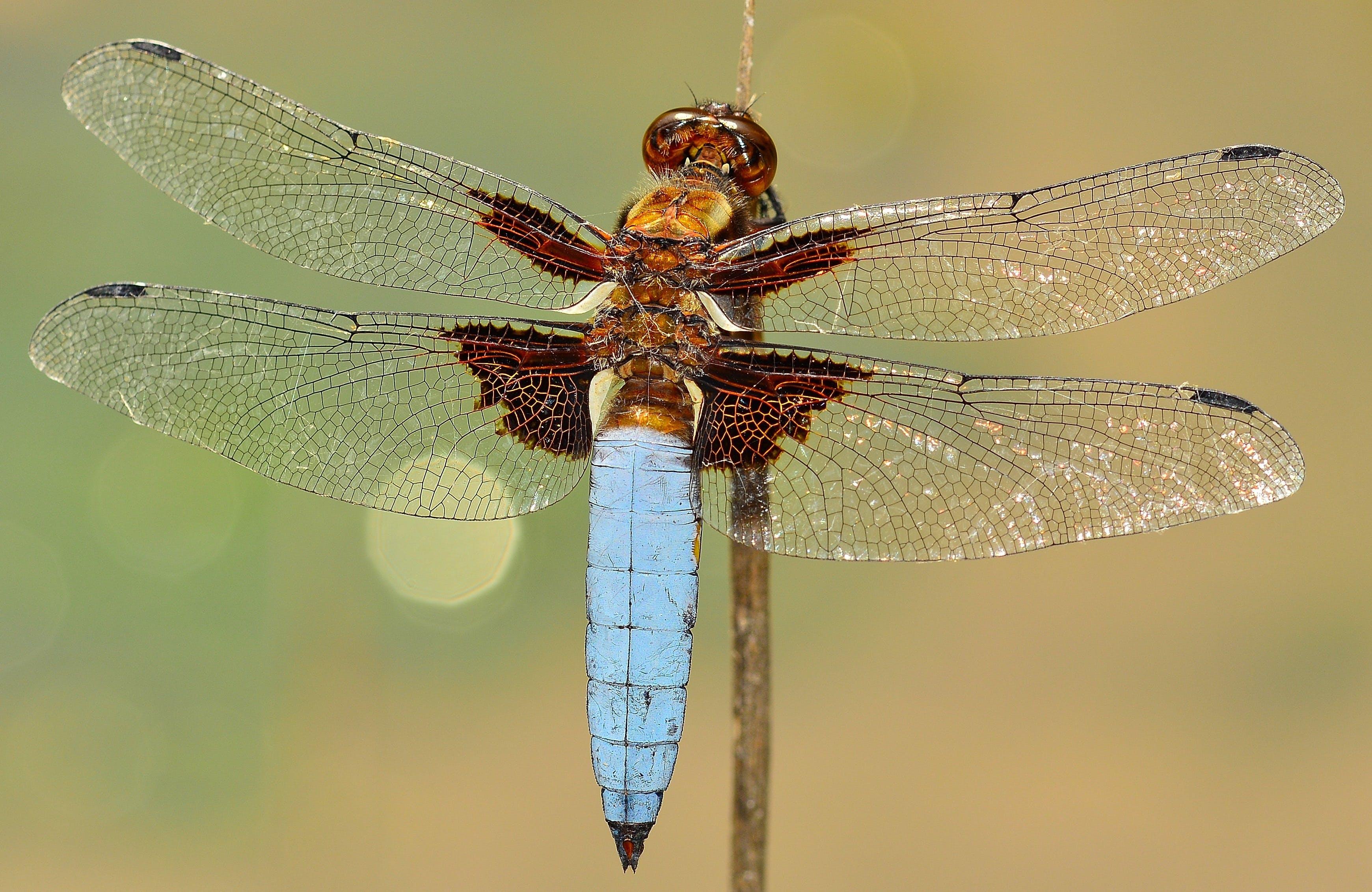 คลังภาพถ่ายฟรี ของ ธรรมชาติ, สัตว์, แมลง, แมลงปอ
