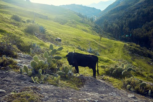 Free stock photo of animal, Leche, Montana, naturaleza