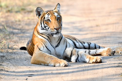 Tiger Lying On Dirt Road