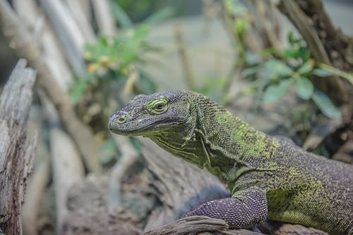 Foto profissional grátis de animal, bicho, close, lagarto
